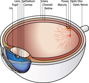 Diagram of your eye components | Macula